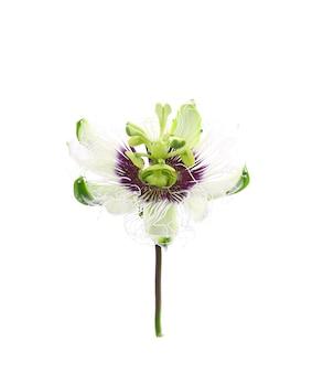 白で隔離のパッションフルーツの花
