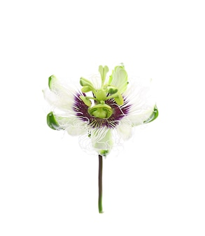 Passion fruit flower isolated on white