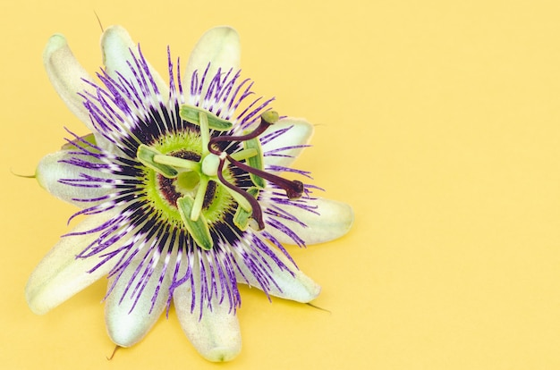 Passion fruit flower on yellow background. copy space. top view.