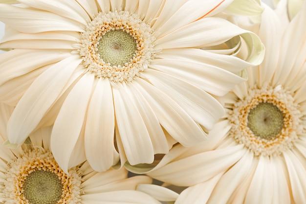 パステル シャンパン ガーベラの花の結婚式のテクスチャ背景
