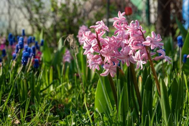 봄에는 정원에 피는 파스텔 히아신스 꽃