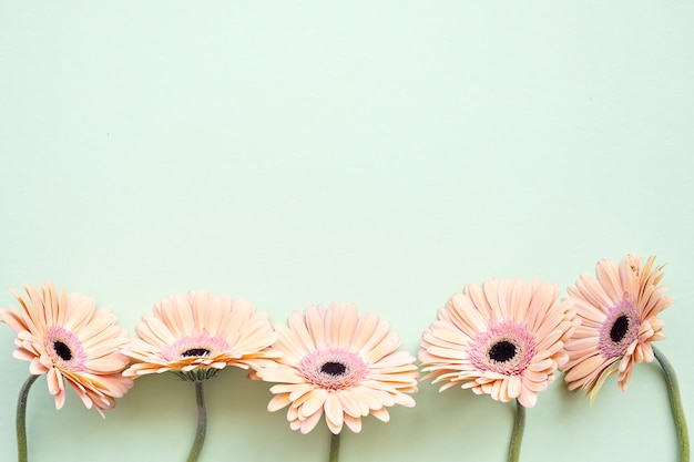 Pastel orange color gerbera daisy flowers on green background with copy space, top view