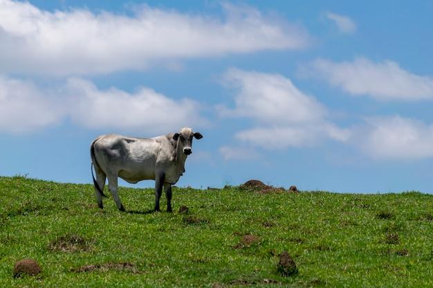 青い空と放牧牛の牧草地の風景