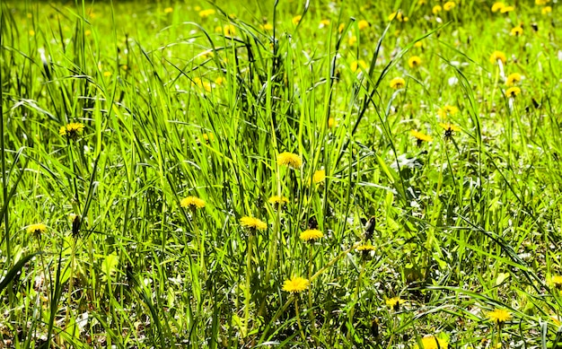 Pasture with grass and with beautiful live yellow dandelions in the spring season, nature in the countryside