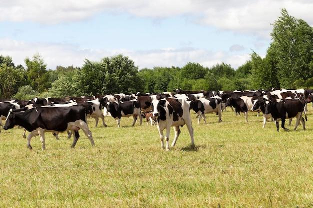 農地での群れの放牧中の白黒の牛の牧草地、曇りの天気でのクローズアップ