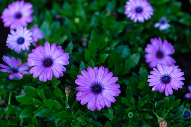 Patch of violet african daisies flowers on green grass nature in a spring garden