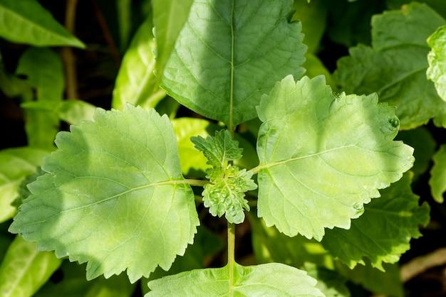自然の表面にパチョリまたはà¸¢ogostemoncablin緑の葉。