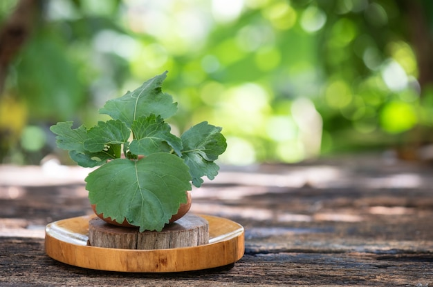 パチョリまたはポゴステモンのカブリン、枝の緑の葉。