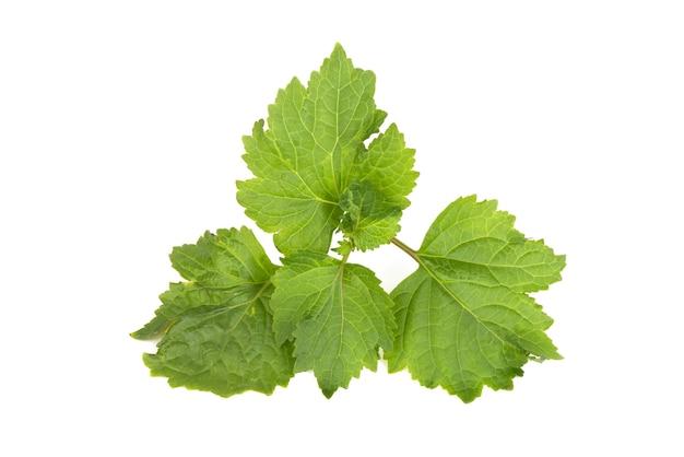 パチョリまたはpogostemoncablin、白い表面に分離された緑の葉。上面図、フラットレイ。