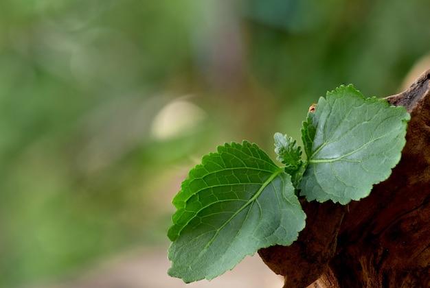 パチョリまたはpogostemoncablin、自然の緑の葉。