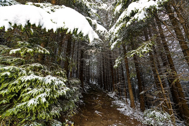 A path among evergreen trees in a snowy forest leads up to the carpathian mountains