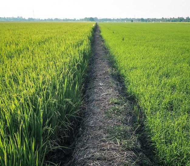Path among rice field