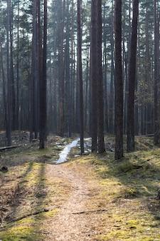 春の松林の小道と雪