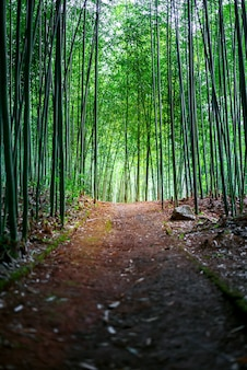Path in bamboo forest landscape
