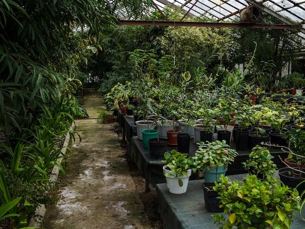 温室のランク間のパス。鉢のテーブルの観葉植物