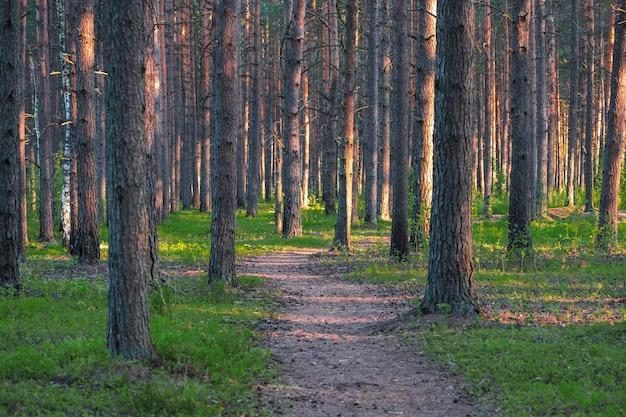 松の森の小道