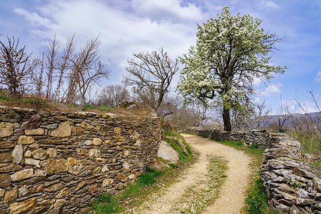 작은 돌담과 봄에 흰 꽃이 만발한 나무 사이의 시골 길