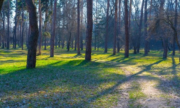 晴れた朝の森の小道