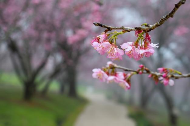 Путь посреди цветущей сакуры