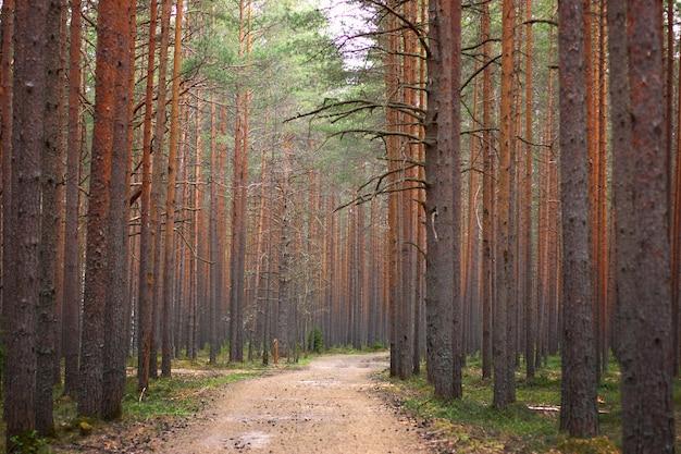 松林の中の小道、遠くまで伸び、両側に松の木の幹さえ。
