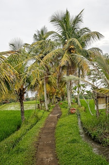 Path in the jungle. paddy fields around.