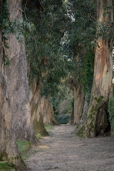 Path in a park with several hundred-year-old trees of the blue eucalyptus variety.