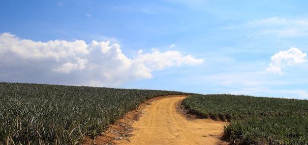 Percorso tra i campi di piante di ananas in una giornata nuvolosa