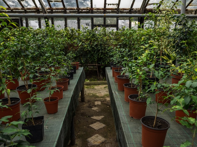 Path between ranks in the greenhouse. houseplants on tables in pots