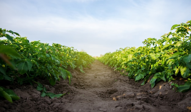 The path between the rows of the potato plantation growing food vegetables agroindustry