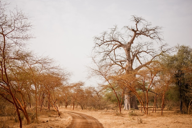 Path on sandy road. wild life in safari. baobab and bush jungles in senegal, africa. bandia reserve. hot, dry climate.