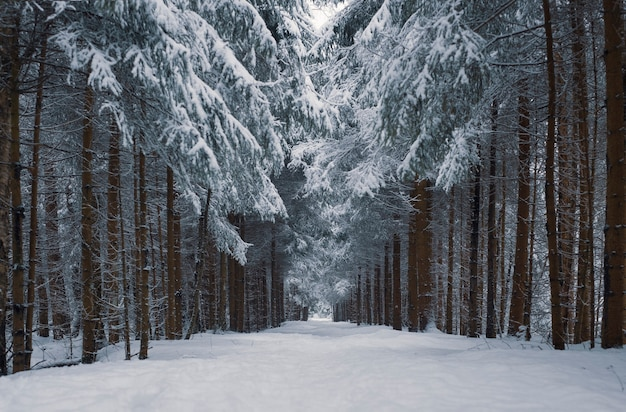 Path in a snowy forest after a snowfall with heart shaped crowns