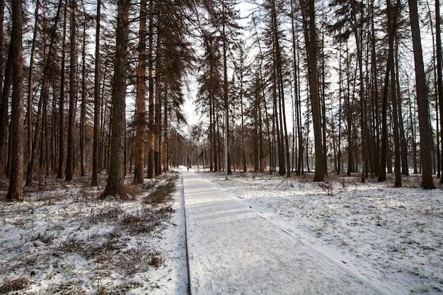 ウィンターパークの松の木を通る小道
