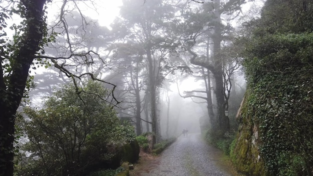 Pathway in misterious forest with fog in background