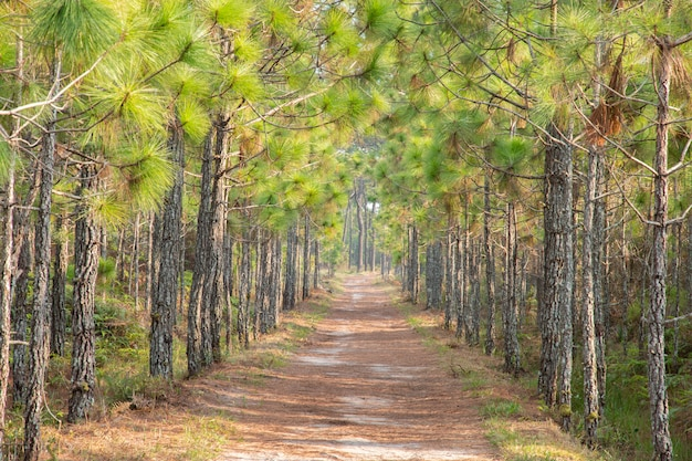 Pathway under the pine tree in the forest