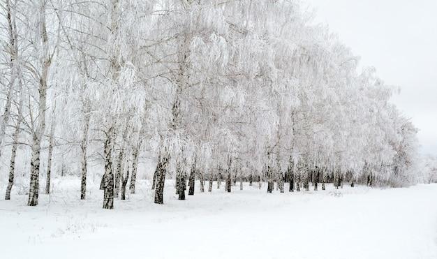 冬の美しい白樺林の小道