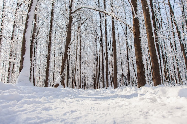 Pathway in winter pine forest with snow on trees and floor in sunny day.