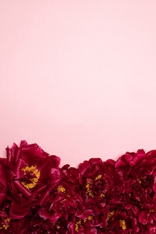 Pattern of beautiful aromatic fresh red peonies on pink