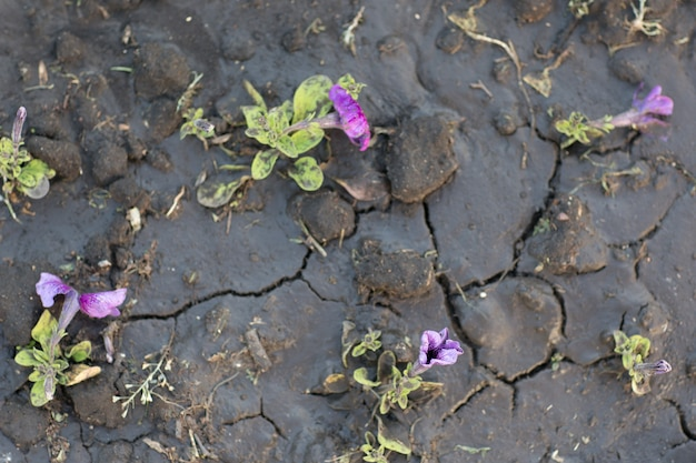 Pattern of cracked and dried soil and flowers after watering