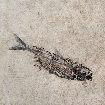 Pattern of fossil fish in the rock