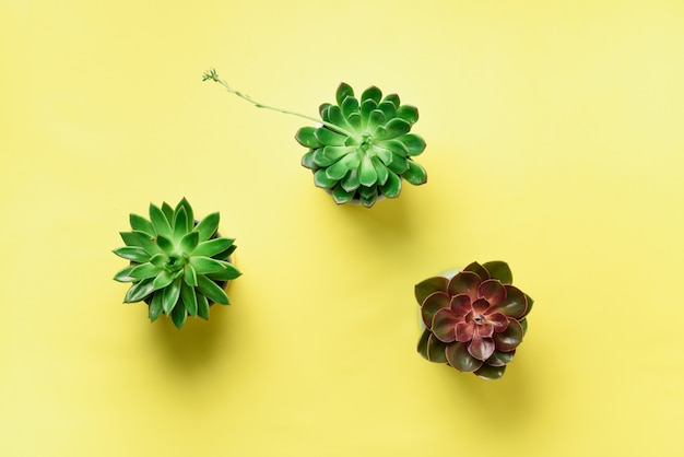 Pattern of green exotic succulents on yellow background. flat lay. top view. pop art design, creative summer concept. minimal style.