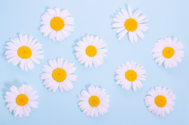 Pattern of natural chamomile flowers on a blue background