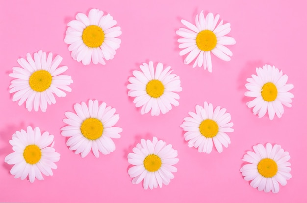 Pattern of natural chamomile flowers on a pink background
