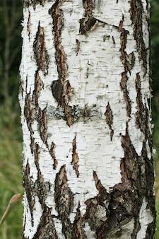 白樺の樹皮に黒樺の縞模様があり、木製の樺皮の質感を持つ白樺の樹皮のパターン。 Premium写真