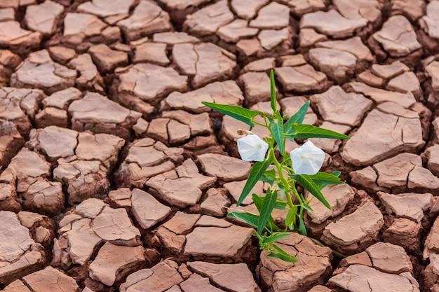 成長した白い花の背景と亀裂と乾燥した土のパターン