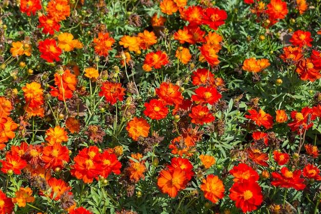 ブッシュとしてのナローリーフジニア、クラシックジニア、キバナコスモスの花のパターン、または観賞用ガーデニングのコンセプトとしての地面のホイル