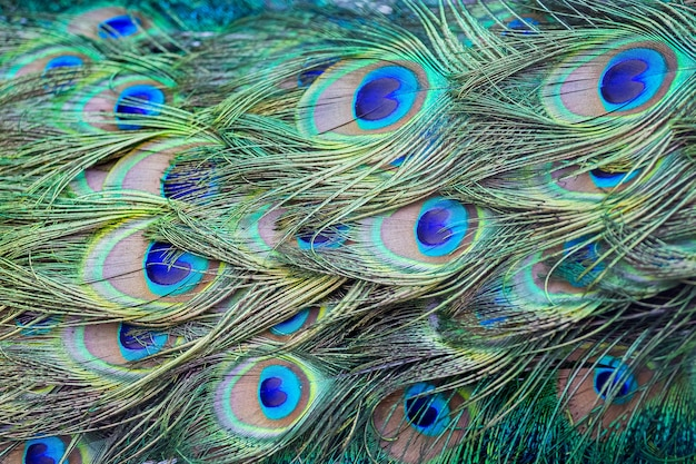 Pattern of peacock tail feathers, background for design_