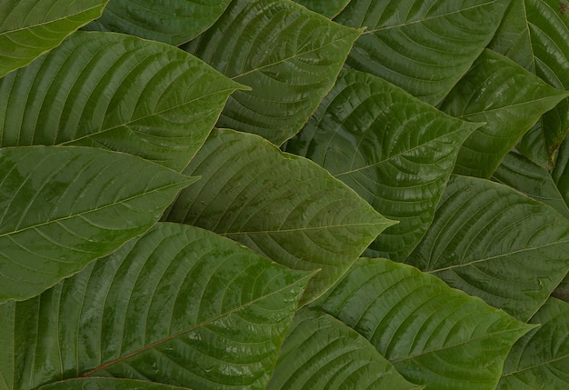 Pattern and surface with back kraton or mitragyna speciosa leaves background.