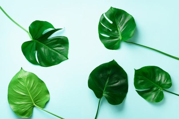 Pattern of tropical monstera leaves on blue background. flat lay. top view. pop art design, creative and exotic summer concept. minimal style.