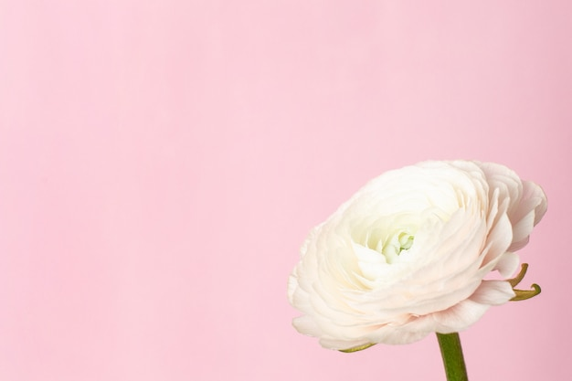 Pattern white ranunculus flower on pastel pink