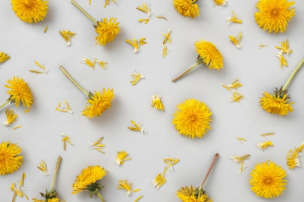 Pattern with yellow dandelion flowers on a grey background and torn off petals. wild flowers and trending color and modern minimal flat lay.